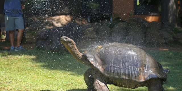 A Galapagos tortoise cools off in a shower of water from a zookeeper at the Oklahoma City Zoo, Thursday, July 18, 2019, in Oklahoma City.