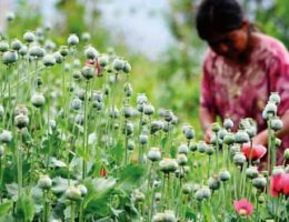 Mexico Is Now The World's Second Largest Opium Producer