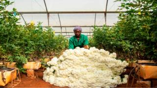 A worker piles up roses in a greenhouse at a flower farm in Kiambu County in Kenya - Tuesday 24 March 2020