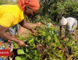 Benin company harvesting plants that could soak up oil spills