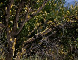 Locusts swarm East Africa, Middle East with worst plague in decades