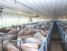 United States hog inventory up 4%
