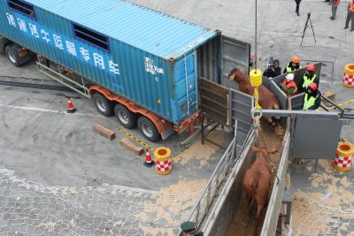Beef cattle imported from Australia are being transported onto a truck at Zhoushan Port in Ningbo city, east China's Zhejiang province, 28 January 2018.