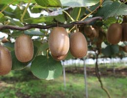 Chilean kiwi exports to Europe and the Middle East increase