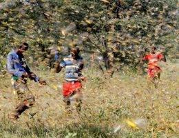 Locust swarms threaten Middle East, India, Africa amid COVID-19 outbreak