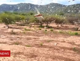 Locusts destroying food supplies in the Horn of Africa