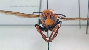 'Murder Hornet' With Potentially Deadly Sting Arrives In United States