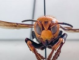 Murder Hornets Discovered in the United States