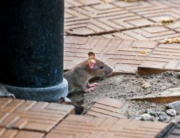 With restaurants closed, rat sightings are increasing across the United States