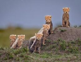 Endangered cheetahs snapped in award-winning photos
