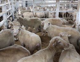 Decline in Middle East live export numbers