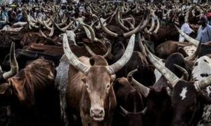Nigeria's Zamfara state offers repentant bandits cows for AK-47s