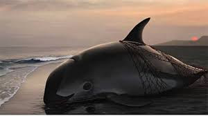 Vaquita Update: New Fishing Regulations in the Upper Golfo de California