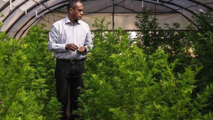Artemisia plants being grown in Madagascar