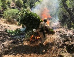 Destroyed: Four Marijuana Plantations in Camalú, BC = 58, 800 Plants