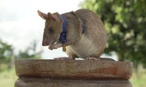 Magawa the mine-detecting rat wins PDSA Gold Medal