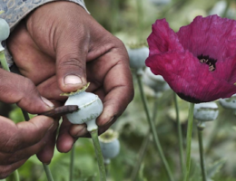 The pitfalls of poppy licensing in Mexico