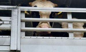 Concern over UK cattle slaughtered in Middle East