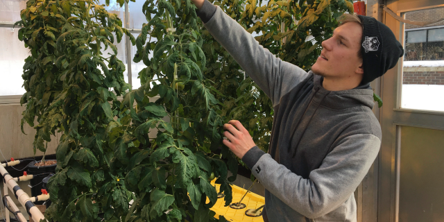 In this Feb. 14, 2019 photo, Colton Welch, a junior at the State University of New York at Morrisville, N.Y., tends hydroponic tomato plants which will provide students with data applicable to cannabis cultivation. (AP Photo/Marry Esch)
