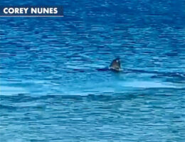 Shark seen eating a seal in shallow water off Cape Cod beach: video