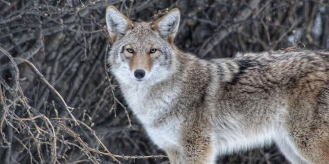 A coyote is seen in the wild.
