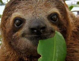 No Sloth Selfies - The Rush to Protect Latin America's Slowest Mammal