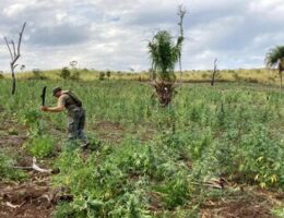 Paraguay Grapples With Ever Larger Seizures of Marijuana